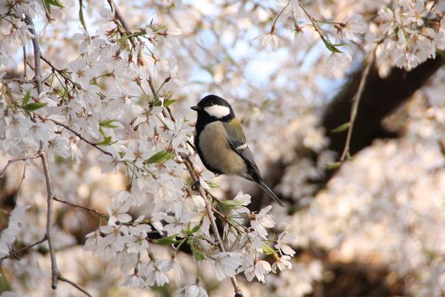 京都御所・近衛邸跡の糸桜を愛でて来ました。<br />昔から糸桜の名所で、光明天皇も歌を詠まれたそうです。<br />「昔より名には聞けども今日みれば むへめかれせぬ糸さくらかな」<br /><br />表紙の写真は、糸桜を啄ばむシジュウカラ。<br />ちょこちょこ動きまわるのですが、手の届きそうな近距離で見ることができました。<br /><br />醍醐から京都御所まで、桜の花を堪能させていただきました。