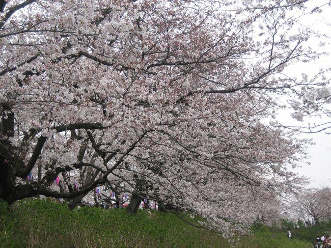 先週まだまだだった幸手権現堂桜提。今週は7〜8分咲きとなって、人でもワンサカ。今日の暖かさと風の無さで、満開になっていくでしょう!