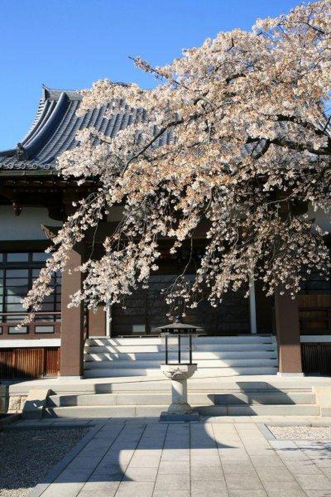 香積院のしだれ桜は、樹齢120年ほどの若木。枝ぶりも良く元気いっぱいに咲き誇っていました。<br />もうすでに散り始めたしだれ桜でしたが、それでも見ごたえは充分でした。<br />この寺院のしだれ桜は、名古屋市内で最も早く咲くことで知られる一本桜です。<br /><br />写真は、香積院(こうじゃくいん)の境内に咲くしだれ桜。