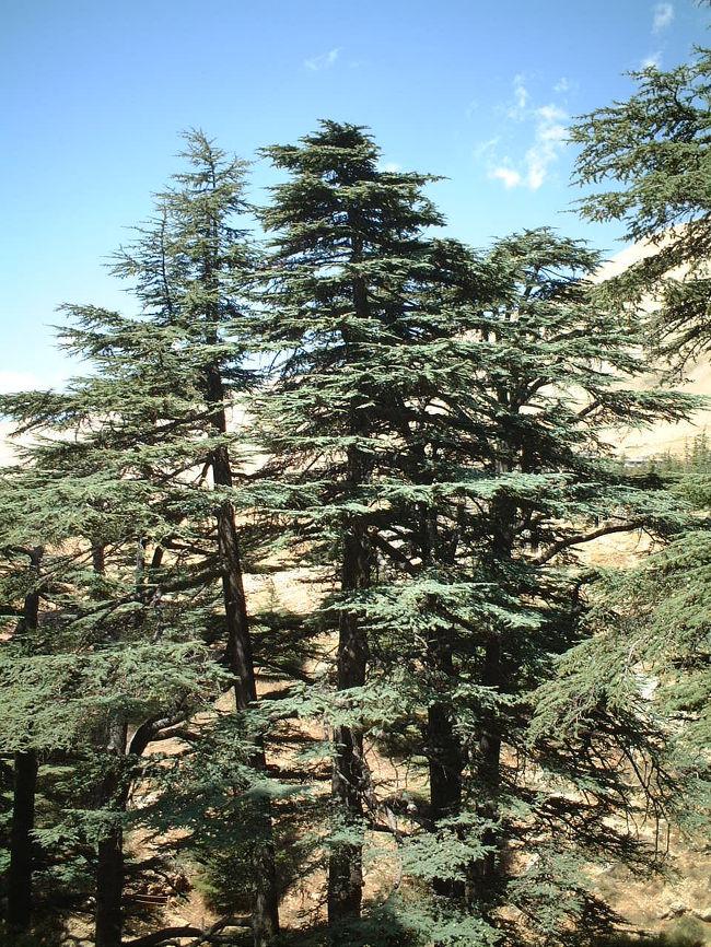 ベイルートからバスを乗り継いで?(よく覚えてないや)<br />いざレバノン杉の森へ!<br /><br />レバノン杉はレバノンの国旗にもなっているものです。<br />昔は多く自生していたらしいのですが最近ではめっきり減ってきていレバノンの一部でしかお見かけしないらしい。<br /><br />そんなレバノン杉は高地にしか自生しないため、真夏のレバノンでもここは大変涼しく若干ばて気味だった体力も回復☆<br /><br />ちなみにこの【カディーシャ渓谷と神の杉の森】は実は世界遺産に登録されているのですが、自然遺産でなく文化遺産登録だそうです。歴史上・文明上・文化上?の価値が認めらているからだとか。<br /><br />何はともあれ、レバノンにお立ち寄りの際には是非おすすめです☆<br /><br /><br />