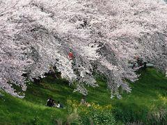 2009春、桜の季節の清洲城(5:完):4月5日(5):模擬天守、清州越し、五条川、カルガモ、菜の花、染井吉野