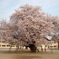 茨城県土浦市〜常総市 満開の桜めぐり