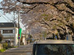 新川の桜並木。