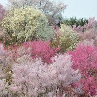花見山は花盛り