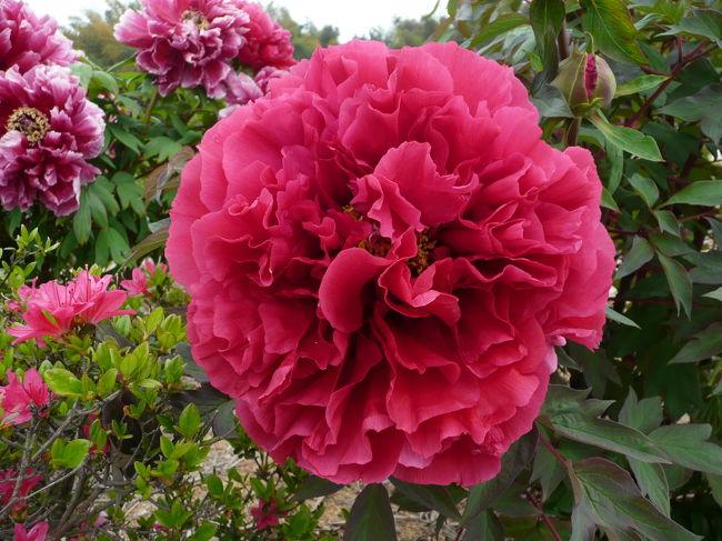 サクラのシーズンも終わり、いよいよ初夏の様な長崎です<br /><br />知人からmailで「牡丹園が見頃だよ」との知らせを受け、<br />もの好きxxxxはLets go! とばかり場所を確認し出掛けました<br />広大な山間部には数十種類の牡丹に芍薬・ツツジが今を盛りと<br />ばかりに咲き誇っていました<br /><br />ローカルの景観ともマッチしてるのが素晴らしいひと時でした。<br /><br /><br /><br /><br />