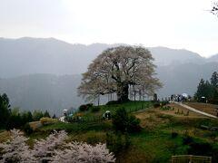 2度目の逢瀬は醍醐桜と雨中の再会となりました。