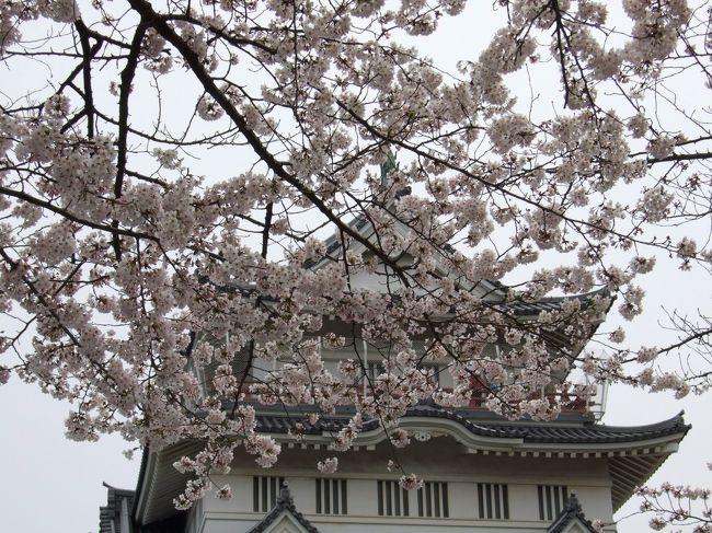 ここ数年、お花見と言えば仕事帰りの上野公園。<br />盛り上がる花見客(という名の飲み会の酔っ払い)を横目で見つつの夜桜散歩。<br />たまには違う花見をしようと、今回は千葉城へ行ってみた。<br />千葉城って、本当にお城があるんだ。(笑)<br />ついでに風太くんでも見に行くか。