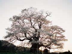 真庭市 醍醐桜