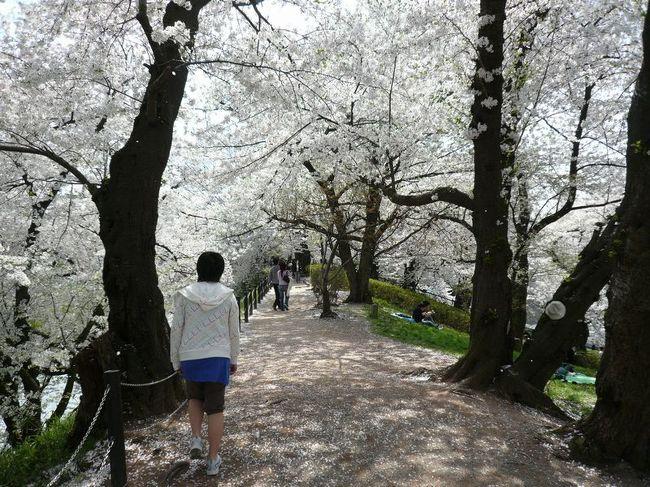 4月中旬になって、ようやく山形にも桜前線到来!<br /><br />今年のお花見は、山形市内の中心にある山形城址「霞城公園」へ!<br />山形駅からも徒歩圏内と交通至便な場所でありながら、市内で一番の桜の名所なんです。<br /><br />ちょうど散り始めの頃で、お堀沿いの桜のトンネルでは桜吹雪が舞っていました〜♪