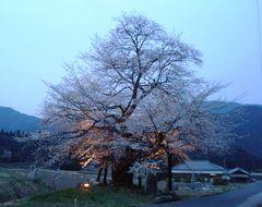 樹齢650年 尾所(おそ)の大桜