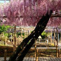 小さな旅●江南・曼陀羅寺(まんだらじ)公園の藤の花