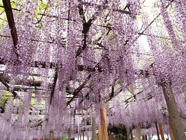 兵庫県宍粟市山崎町にある大歳(ださい)神社の千年藤を見に行きました。大歳神社は'藤の宮'と呼ばれ、藤の花の見頃になると、境内を千年藤の藤棚に覆い尽くされるようになります。兵庫県の天然記念物に指定されており、地元山崎では日本一と称しています。また、環境省の指定する'かおり風景100選'に選定されています。<br /><br />ところで、大歳神社といえば稲の神様といわれる大歳神(おおとしのかみ)が祀られており、全国いたるところにあります。'おおとしじんじゃ'と読むのが普通ですが、この千年藤のある大歳神社は'ださいじんじゃ'と読みます。そのわけははっきりとはわからないようです。