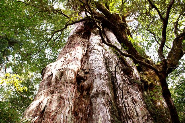 世界遺産の屋久島に行ってきました。現在日本には世界遺産が14登録されている。その内自然遺産は3箇所で、知床、白神山地と屋久島である。大自然をテーマに旅をしている私にはこの3箇所は外せない場所である・・一昨年2007年に知床に行き、今回は2つ目の屋久島!林芙美子の小説「浮雲」の中に「ひと月に35日雨が降る」と表現されるほど雨の多い島である。当然雨を覚悟の訪問となったが・・・。樹齢7,200年とも云われる縄文杉や3,000年の弥生杉、大王杉、紀元杉・・など1,000年以上の屋久杉の数々。巨大なその姿に神々しさを感じる。白谷雲水峡、ヤクスギランド、大川の滝、千尋の滝など見るところは多い。何よりも、奇跡的に全日程好天気に恵まれた素晴らしい旅であった。今回は屋久島入門編でさっと見ただけになったが・・・また何時の日か神木・縄文杉を見に行きたい!今回もまた新しい発見、新しい感動があった。やはり旅は楽しい・・!! <br /><br />詳細は<br />http://yoshiokan.5.pro.tok2.com/<br />旅いつまでも・・★画像で見る旅行記を<br />参照ください。<br />