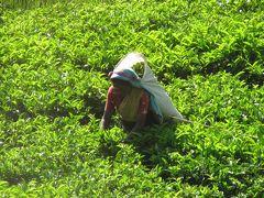 スリランカの旅(7)・・ピンナワラのゾウの孤児園とヌワラ・エリヤの紅茶園を訪ねて