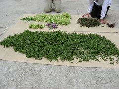 日本百名山・巻機山の麓で山菜採り
