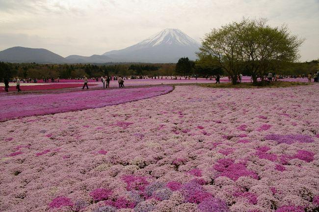 本栖湖近くで「富士芝桜まつり」というイベントが開催されているというので、行ってみました。<br /><br />国道139号線は会場を先頭に両方向とも10km〜20kmの大渋滞で麻痺状態。<br />ココは朝一番で訪れるに限ります!!