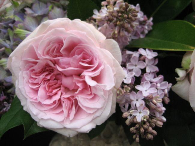 コクリコさんに誘われてひさしぶりに訪れた薔薇のショー。<br /><br />ず~っと前に来たときは<br />むせ返るような陽気で薔薇がしぼみ私もぐ~ったりしてしまい。<br /><br />今回は初日でもあり、お天気もすがすがしくて薔薇がイキイキしてました。ディスプレイも趣向もぐっとセンスアップして素晴らしい。<br /><br /><br />コクリコさんのページはこちらです。<br />http://4travel.jp/traveler/coquelicot/album/10337111/<br /><br />コクリコさんとお内儀連との楽しい一日のはじまりはじまり(*^.^*)<br /><br /><br />★Japan ~ミツバチばあやの冒険~ サイトマップ<br /> http://4travel.jp/traveler/tougarashibaba/album/10453406/<br /><br /><br /><br /><br /><br />