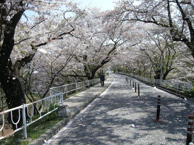 大学病院と医学部との連絡道路は千葉の隠れた桜の名所です。特に桜の散る時の艶やかさ。風の通る道が見えるようです。
