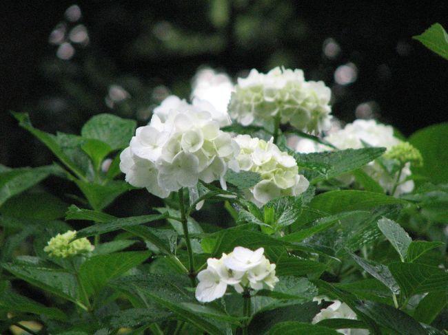 5月31日、皇居・東御苑の二の丸庭園での花菖蒲とサツキ鑑賞を終えた後、午後1時頃より本丸跡の庭園散策を行った。<br />生憎、此処に来てからにわか雨に会い、雨宿りをしつつ散策をせざるを得なかった。 この雨を喜んでいるかのような紫陽花の花がやけに目に入り、もう直ぐ、梅雨入も近いと実感した。結局は<br />本丸跡では約1時間雨宿りをしながら散策を楽しむことになった。<br /><br />此処では、大手門~本丸跡の庭園散策をまとめた。<br /><br />*本丸跡の富士見多聞付近で見られた紫陽花の花