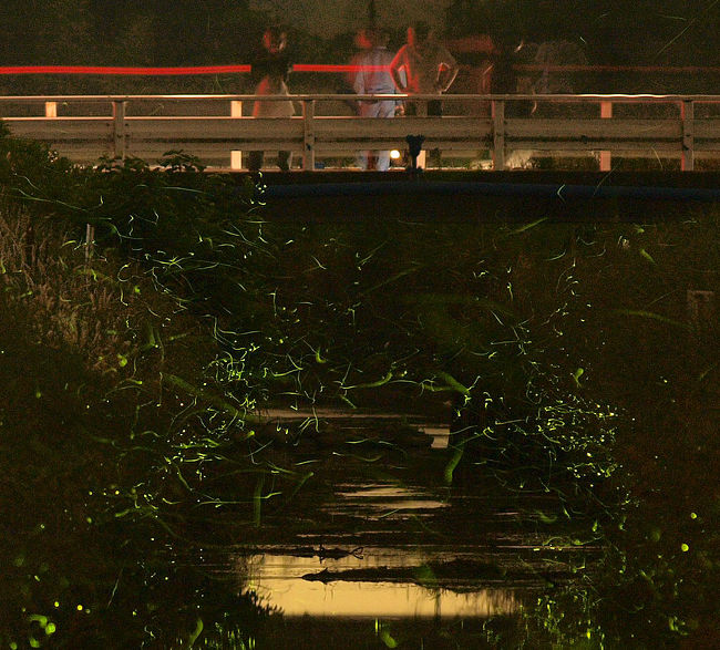 三重県四日市市西村町のホタルはスゴイ<br />ここのホタルを見たらビックリ仰天です。<br /><br />自治区の区長さんから蛍を増やすための苦労話を聞き感激しました。この地区の世帯数は100件あまりなのですが地元の方の思いが数千匹の蛍を育生できたかと思います。川に掛かる橋の名前も子供から募集し「蛍の橋」と命名され、都会には無い環境作りと思う。<br />