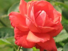 都心のオアシス「ザ・プリンスパークタワートウキョウのバラ庭園」を訪問