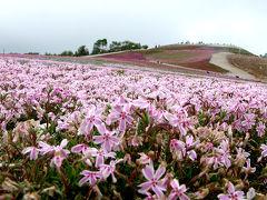 茶臼山高原で見た 芝桜