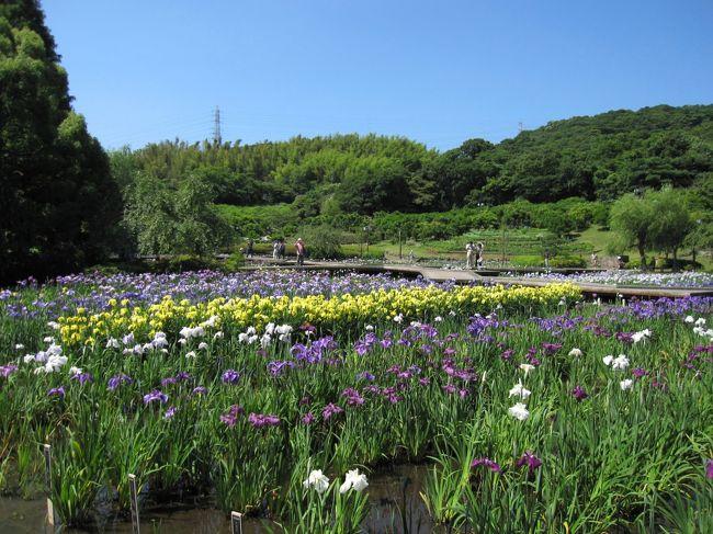1993年に開園された、横須賀しょうぶ園。<br />横須賀線、衣笠駅からバスで行ったところにあります。<br /><br />14万株もの、花ショウブが咲き誇り、<br />それはそれは、とても見ごたえのあるものでした。<br /><br />開園した頃はに、何回か訪れましたが、<br />自宅からは、遠かったため(その頃は県央に住んでいました)<br />だんだん、足が遠のいていました。<br />最近は、また花に凝り始めたので、<br />久しぶりに行ってみようかと、十何年ぶりかで訪れてみました。<br /><br />?では、広いほうの「しょうぶ園」の様子です。<br />バリアフリーなので、車椅子の方にもいいところだと思います。<br /><br /><br />