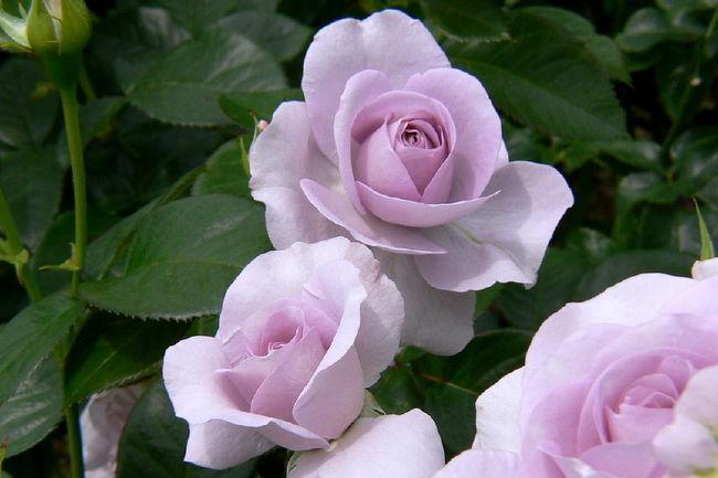 花フェスタ95の会場で平成8年4月より花フェスタ記念公園<br />会場の跡地に作られた可児市の花フェスタ記念公園は、<br />花の生産量日本一を誇る岐阜県の公園です。<br />現在80haの広大な敷地内で7000種6万株が植えられています。<br />園内には、バラ園・バラのテーマガーデンの他に、花のタワー、花の地球館や、茶室などあり、<br />今では品種の多さでは世界一の規模を誇るバラ園となっています。<br />バラの最盛期は5月中旬から6月下旬<br />今は、花フェスタ2009 バラまつり<br />開催期間.2009.5.19から2009.6.28