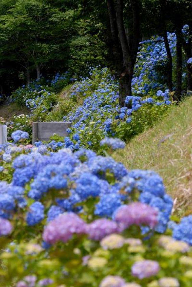 岐阜.関市の板取の中心を板取川が流れ、<br />主要地方道白鳥板取線約24キロメートルは【あじさいロード】と呼ばれて、<br />洞戸から板取にかけての「アジサイロード」は<br />日本の道百選にも名を連ねています。、<br /><br />7万本のあじさいが咲き、<br />板取21世紀の森公園の3万本と合わせて10万本のあじさいが咲き競います。<br />関市板取の板取21世紀の森公園一帯で<br />「関市板取あじさい村フェスティバル2009」が開かれる<br />(後日アルバムで紹介します)<br /><br />公園内の特設ステージでは音楽ショーや自然教室などのイベントが催され、<br />「2009全日本選手権 バイクトライアル中部大会・関板取」がある。<br />『関市板取あじさい村』開村<br />http://4travel.jp/traveler/isazi/album/10251004/<br />少し前の<br />http://photo.thi.jp/v/isazi/isazi_001/2006ajisai/