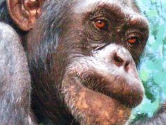 ズーラシア-01 チンパンジーは類人猿 ☆顔の表情も豊かに