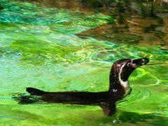 ズーラシア-03   フンボルトペンギンの水泳姿 ☆オットセイは流線型