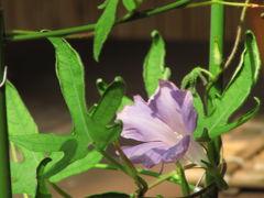 気になっていた向島百花園に夏デビュー(1)ちょっと拍子抜けの変化朝顔展と庶民的な庭園の様子