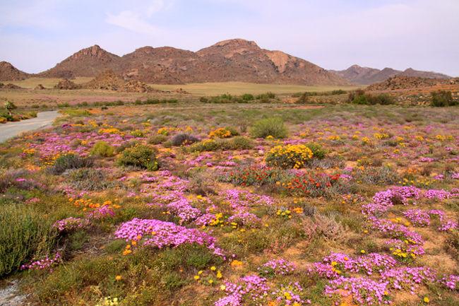 「神々の楽園・ナマクワランド」<br />南アフリカの北西部、ケープ州に広がる「神々の花園」と云われるナマクワランド。南北に800Km、東西に300Kmと広がる広大なワイルドフラワーの大地である。1年のうち2-3週間という限られた期間に見られる地球最大規模の野生の花園。3,000種とも4,000種とも云われる植物、その殆どが固有種だ。オレンジ、白、紫、黄色・・の花々!約8,000万年も続いてきた砂漠性乾燥気候。そこに寒冷前線の北上に伴い沿岸で霧が発生し僅かな雨が降り、この恵みの雨が降ると砂漠の地に一斉に花が咲く・・ <br /><br /><br /><br />詳細は<br />http://yoshiokan.5.pro.tok2.com/<br />旅いつまでも・・★画像で見る旅行記を<br />参照ください。