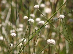 御池沼沢植物群落のシラタマホシクサ
