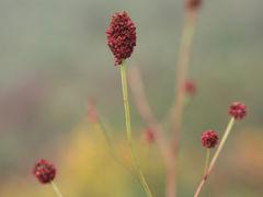 車で滋賀 ★初秋の伊吹山2/2・西コースに咲く高山植物