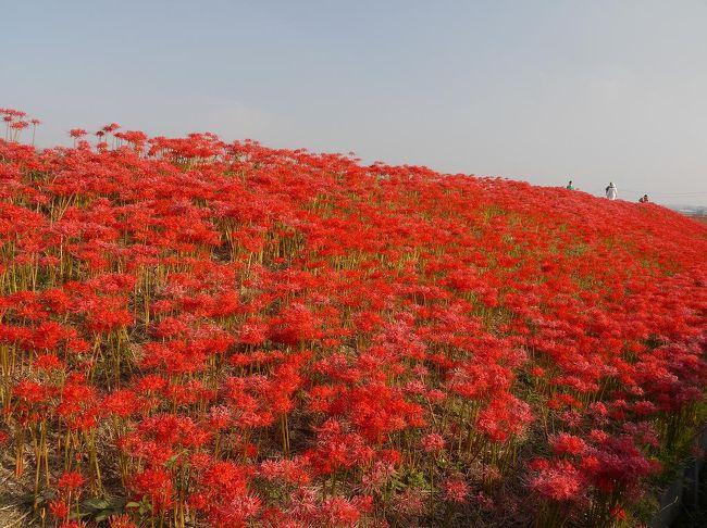 今週は、童話作家 新美南吉の故郷、半田に彼岸花を見に行ってきました。<br /><br />矢勝川堤には地元の方が植えた彼岸花が200万本も咲いていて圧巻です。<br /><br />暑さと人手を避けて朝7時に到着しましたがすでにたくさんの人が写真を撮りに来ていました。<br />