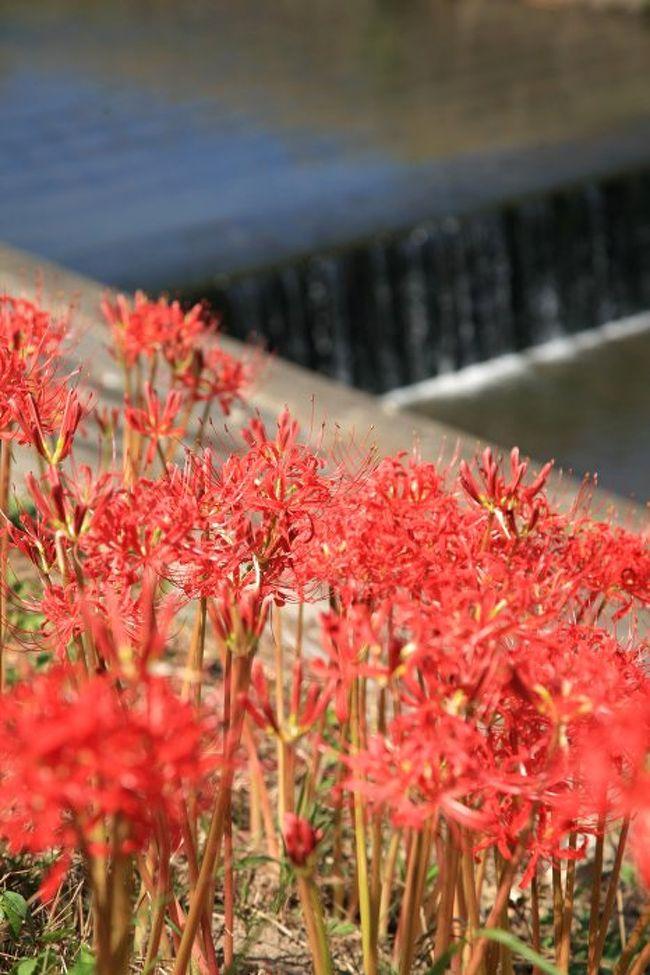 童話作家として知られる新美南吉の故郷に、今年も彼岸花が咲きはじめる時期。待ち切れず、ちょっと様子見で行ってみることにしました。でも、少し早かったようで、部分的には満開の場所もありましたが、全体的には2部咲きといったところでした。4日後に再訪問しました。後日アップの予定。<br /><br />写真は半田・矢勝川で咲きはじめた彼岸花。