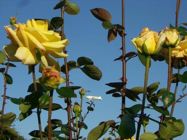 外は見事な秋晴れ!爽やかな空気に包まれています。<br /><br />行かなくちゃ!!<br /><br />何かに追い立てられるように向かった先はバラフェスタが開催されている神代植物公園。<br /><br />色鮮やかに咲き誇る秋のバラを堪能してきました。<br /><br /><br />