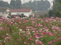 コスモスとバラが見られる智光山公園へ(2)コスモスだけだと厳しいと思ったわりには