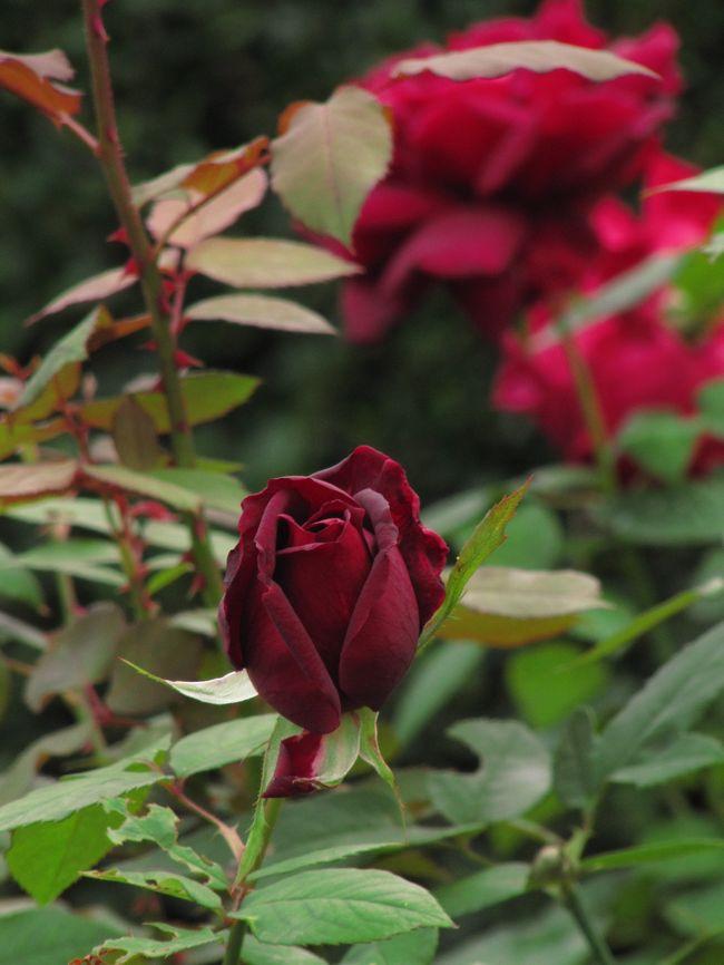 思ったより花が咲いていたコスモス畑での撮影を楽しんだ後、智光山公園の都市緑化植物園に入ってみたら。<br />おーっ、おーっ、おーっ!<br />バラ園が、ほぼ満開に近いではないですか。<br /><br />智光山公園でコスモスとバラをいっぺんに愛でる───。<br />一度は無理かと思ったのですが、叶っちゃいましたね。<br /><br />コスモスもバラも同時に見られる公園って、あまり聞いたことはないです。<br />昭和記念公園や森林公園にはコスモス花壇がありますが、バラは少しです。<br />逆にバラ園で名高い公園で、コスモスがあるところって知らないです。<br />もちろん、立派なコスモス花壇があっても、バラでしか有名でないところもあるかもしれません、私が知らないだけで(※)。<br />智光山公園だって有名なのは菖蒲園くらいですもの。<br /><br />(※)実は、この旅行記作成後にお気に入りのトラベラーさんの旅行記をサーフィンしたら、ひたち海浜公園には立派なバラ園と広大なコスモス畑があることを知りました@<br /><br />智光山公園のバラは10月末頃に見に行けばいいんだろうと思っていましたが、今回、急に行くことにして良かったです。<br />急にというのも、この土曜日は終日曇り、夕方にわか雨が降るかもしれないとの天気予報だから、迷っていたんです。<br />だけど、この週末にお出かけしたいところは4ヶ所ありましたから。<br /><br />小ぶりで可憐なオールドローズや花びらが幾重にも重なったところが魅力のイングリッシュローズや、そういうタイプのバラであったら、日差しの下で写真を撮りたいと思うでしょう。<br />それともオールドローズもイングリッシュローズも秋にはほとんど咲かないので、春バラという明るいイメージが私の中にインプットされているせいだからかしら。<br /><br />智光山公園のバラ園には、いかにもバラらしい高芯剣咲きのモダンローズが多いです。<br />こういうバラは、曇りでも似合うだろうと思いました。<br />思ったとおり、曇りでも出かけてみて、大正解@<br />しっとりと落ち着いた風情になった上、そのバラ本来の色もよく出て、艶やかさが増して、濃厚な色彩にくらくらしそうなくらいでした。<br /><br />花の撮影には、背景が青空で、明るいおかげでピントも合いやすく、なによりも気分も明るくなる晴れが好きです。<br />でも花自身の撮影は曇りの方が、花びらが影にならなくて撮りやすいと、頭で分かっていました。<br />そのことは、今回の曇りの日のバラ撮影と、晴天となった翌日の日曜日の神代植物公園でのバラ撮影園で痛感しました。<br /><br />今回の智光山公園では、念願どおりコスモスと秋バラもいっぺんに楽しむことができたので、旅行記は次の3つに分けました。<br />□(1)行くまでによそ見の誘惑がいっぱい<br />□(2)コスモスだけだと厳しいと思ったわりには<br />■(3)曇り空の秋バラは艶やかで<br /><br />※初めて見た智光山公園の春バラの旅行記<br />「近場でお手軽バラ三昧(2)智光山公園のバラ園」(2009年5月17日)<br />http://4travel.jp/traveler/traveler-mami/album/10338734/<br /><br />狭山市都市緑化植物園(智光山公園)公式サイト<br />http://www.shokubutsuen.jp/<br />狭山市公園管理事務所サイトの智光山公園のページ<br />http://www.city.sayama.saitama.jp/kakuka/kensetu/kouen/hp/park/shokai/chikouzan/chikouzan.htm<br />「子供と一緒に遊びに行こう!」の智光山公園のページ<br />http://santa.cside.com/kouen/tikouzan.htm<br />「旅に行きた隊!」の智光山公園のページ<br />http://quetzal.gozaru.jp/q010/sy01.html<br />