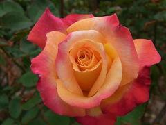 秋バラの香りに包まれて
