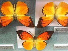 2009秋、名和昆虫博物館(2):10月31日(2):ゴライアストリバネアゲハ、ルリチョウ、ツマベニチョウ