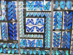 2009秋、名和昆虫博物館(3):10月31日(3):ナルキッサスミイロタテハ、ウスバアゲハ、ヘレナモルフォ