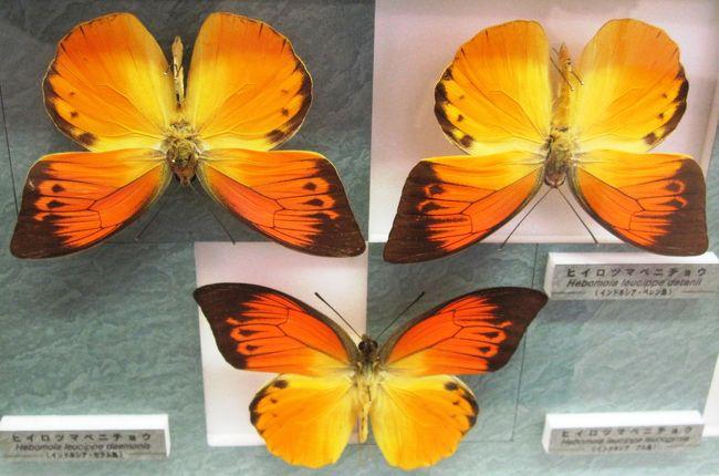 世界各国の昆虫約1万8千種類、30万点以上の標本を有する名和昆虫博物館は、1919年(大正8年)10月26日に開館しました。建物は開館当時のもので、明治洋風建築として登録有形文化財(岐阜県第1号)に登録されています。ギフチョウの次は、世界の珍しい蝶、奇麗な蝶などの紹介です。