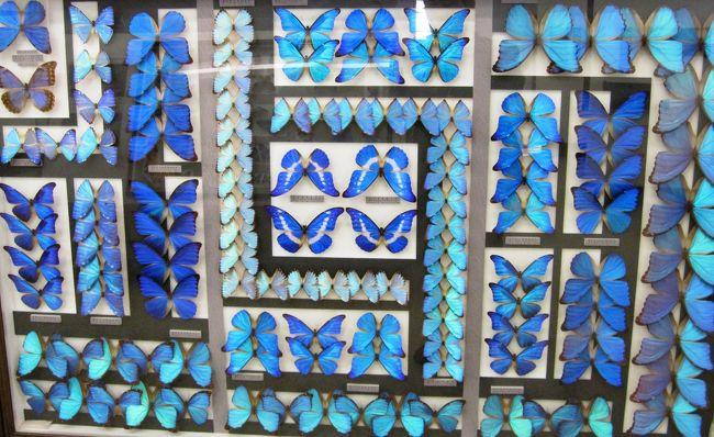 名和昆虫博物館が所有する、世界の珍しい蝶の紹介が続きます。