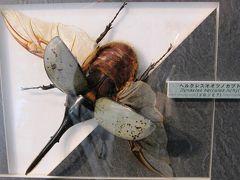 2009秋、名和昆虫博物館(4:完):10月31日(4):マエモンフクロウチョウ、玉虫、ゾウカブト、ヘルクシスオオツノカブト