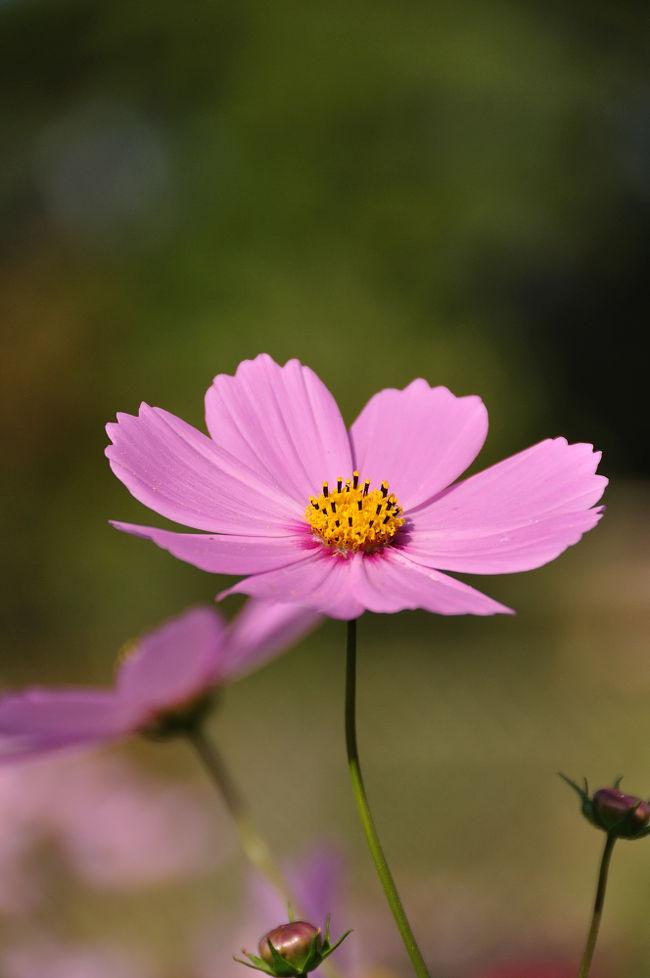 はじめての撮影会でその名も「花の美術館」へ行ってきました。<br />稲毛海岸に作られた広大な公園の中にあります。<br /><br />洋風な庭園と屋内の植物園には季節の花がいっぱい…でも、何しろ初めての写真教室なもので、コスモスだけで終わってしまった2時間でした。<br /><br /><br />花の美術館<br />千葉市美浜区高浜7−2−4<br />開館時間  9:30〜17:00<br />休館日 毎週月曜日<br />入館料   大人200円 小・中学生100円<br />http://floral-museum.jp/