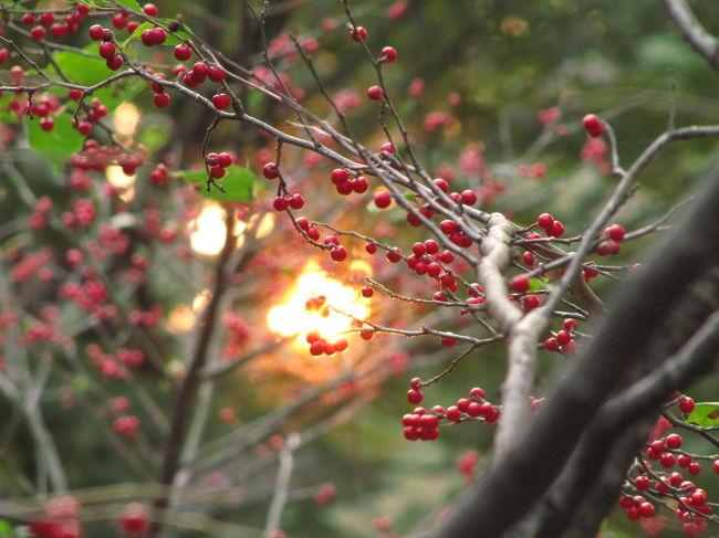 休みなしの5時間半、あーっ、楽しかった@<br />11時に到着して16時半の閉園時間まで。<br />時間がないと急かされることなく、マイペース。<br />見たいものはほぼ網羅できました。<br />これだけたっぷり時間があればね。<br /><br />2度目の新宿御苑は、また菊の季節となりました。<br />紅葉はまだ微妙でしたが、時々日が射したときの日に透ける緑の美しかったこと!<br />まだ見頃の秋バラも逃しませんでした。バラ花壇は思ったより大きくなかったですが、プラタナスの並木道に挟まれたフランス式整形庭園のバラなので、また違った味わいがありました。<br />菊花壇展は2度目のせいか、初めて古典菊を見た前回は、なんじゃコラ?───だったのに対して、2度目ともなると、その良さがしみじみ感じられて、カメラを構える手に一段と力が入りました。<br /><br />そしてゲットできた写真は200枚以上。<br />というわけで、今回の新宿御苑の旅行記は、4つに分けることにしました。<br /><br />□(1)新宿御苑の菊花壇展2009・前編<br />□(2)新宿御苑の菊花壇展2009・後編<br />□(3)新宿御苑の和の風景と洋の庭園の秋<br />■(4)新宿御苑のバラ花壇と秋の彩り<br /><br />はじめて新宿御苑に目をつけたのは、ハンカチノキがあるから、ということでした。<br />でもハンカチノキは、自宅から自転車で30分の智光山公園で間に合ってしまいました。あそこにはハンカチノキの大木が3本もあります。<br />新宿御苑のハンカチノキは見ていませんが、智光山公園のハンカチノキと比べると、見劣りしないかな?<br /><br />でも他にも、ちょうど秋の今頃、菊花壇展のときに花を咲かせているなかなか珍しい木として、十月桜、子福桜、そして冬桜があります。<br /><br />去年は、十月桜と子福桜を見ることが出来ました。<br />十月桜はほぼ満開でした。<br />子福桜は花はちょっとしか咲いていなくて、しかも高い位置でしたので、去年の私のコンデジでは撮影は厳しかったです。<br /><br />どちらも思ったよりささやかな木であり花だったので、「えっ、これだけ?」とはじめは驚いたものの、見慣れてくると、春らしい華やかさと対照的な、いまにも溶けそうな雪みたいなささやかな生命の光が、けなげで感動的だと思えるようになりました。<br />ただ、去年は曇りでした。<br />花びらの薄い桜は、曇り空での撮影は、どうしても陰気になりがち。<br /><br />去年のフォートラベル版写真集<br />「はじめての新宿御苑めぐり」(2008年11月15日)<br />http://4travel.jp/traveler/traveler-mami/album/10289038/<br /><br />今回は、冬桜を撮ることができました。<br />ささやかな木だったので、あることを知らなければ、そばを通ってもあっさり見逃しそうでした。<br /><br />でも、今日の天気予報は晴れ時々曇りといいながら、むしろ曇りがちだった中、ささやかな冬桜を撮っているときは晴れてきました、ラッキー。<br /><br />ほかにも思った以上に花や実の写真が撮れました。<br />ひょっとしたら、と期待した皇帝ダリアはまだでしたけど。<br />ひょっとしたら、と期待しないようにしていたバラ花壇のバラは、まだまだ見頃でした。<br />エーデルワイスやフリージアって品種名のバラもあるんですねぇ。<br />ブラックティーとかストロベリーアイスとか、嗜好品やお菓子の名前をつけたくなる気持ちは、とっても分かります@<br /><br />サザンカは土曜にたくさん写真を撮りましたけれど、やはりきれいに咲いていれば、あるいは必ずしもきれいじゃなくても、あふれんばかりに咲いていて目を引けば、カメラを構えたくなります。 <br />もっと遅い時期に咲くかと思っていたツワブキも、ぎっしりの群生で本当に見事でした。<br />ボタンクサギ、コムラサキあるいはコシキブの実は、もちろん写真を撮ったけれど、咲いていることにあまり驚く花ではないですが……もう、水仙が咲いていたのには驚きました。<br />まだちょこっとでしたが、水仙の時期が確実に近付いていることがうかがえました。<br />早くない?<br /><br />ウメモドキの実は、もう撮らなくてもいいかなってくらい、すでに何箇所かで撮りました。<br />それだけ目を引く実のつき方です。<br />でも、今回は、沈む夕日と一緒に撮れました@<br />そのときはもう、新宿門から出