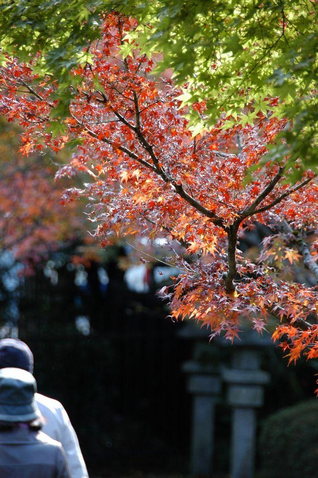 最近知ったのは、八幡の八幡宮登山口の南手にある「もみじ寺」の噂。<br /><br />今年、日本の紅葉シーズンは、例年より早い出足だそうです。<br />テレビでは、嵐山などももう「見ごろ」と出ていますし、市内の有名寺院も見ごろだそうです。<br />なら、我らが善法律寺のもみじも、さぞかし出揃っていることでしょう!<br /><br />先週から、「次の週で天候の良い日に出掛けるぞ!」と思ったところ、<br />連日の悪天候でじれていましたが、今日は昼前から澄んだ青空が見えてきました!<br />早速準備を整えて、オトンとオカンを連れて出掛けてきました~♪
