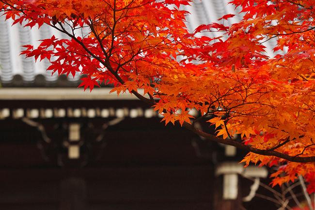 仁和寺(にんなじ)<br /><br />仁和寺といえば桜がとても有名ですが、実は紅葉も美しい。<br />参道に沿って続く並木、観音堂、五重塔、経蔵付近の紅葉が美しい。<br />境内が広く、各所に植えられたモミジが鮮やかで、<br />それぞれが歴史的建造物を彩っています。<br />ただ、それほど秋には話題に登らず、<br />紅葉目当てで訪れる人は多くありません。<br />とても落ち着いた雰囲気です。<br />宿から近いので、朝の早い時間に訪れてみました。<br /><br /><br />---------<br />ご紹介<br /><br />真言宗御室派総本山のお寺。<br />世界文化遺産指定。<br /><br />886年、光孝天皇の勅願により建立が開始され、<br />888年に宇多天皇によって造営された洛西屈指の古刹。<br /><br />御本尊は阿弥陀三尊を祀り、仁和寺では本堂ではなく、金堂と呼ぶそうです。<br />金堂は桃山時代に建てられた京都御所の紫宸殿を<br />江戸時代初期に移築したもので、国宝に指定されています。<br />この金堂前の御室桜は咲き誇る春、赤く燃える秋、<br />いずれも圧巻。<br />